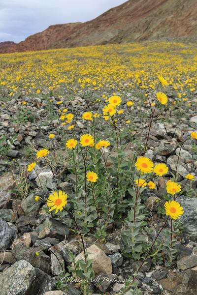 Death Valley Super Bloom 2016