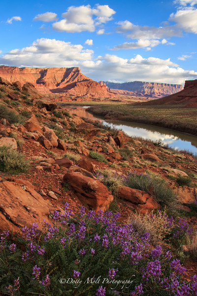 Moab Flowers along the Colorado River