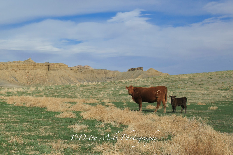Cottonwood Canyon Road Mama Baby Cow