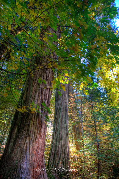 Redwood Trees in Autumn, Yosemite