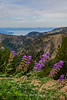 Bush Lupine at the Top of the World