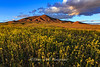 Winnemucca Mustard Field Setting Sun