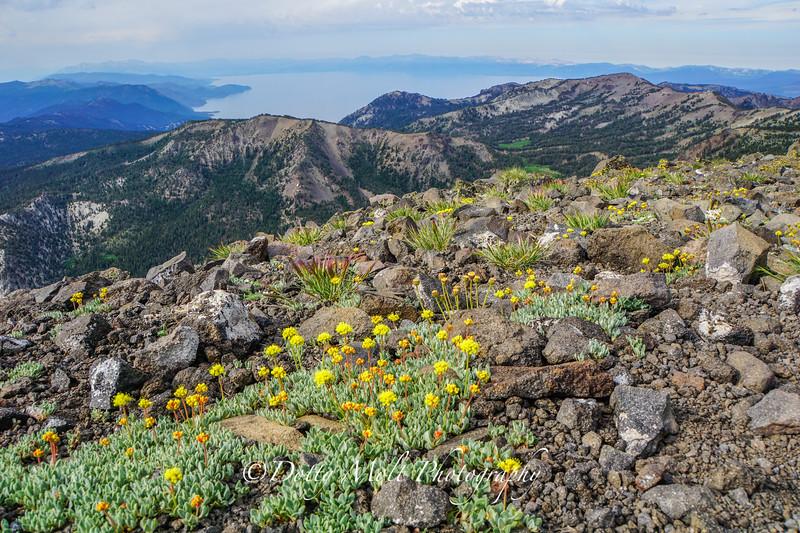 Mt. Rose Mustard Flowers