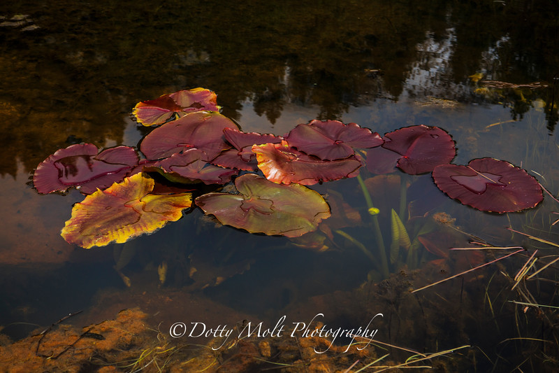Lily Pads on Rock Lake Ophir Creek Trail