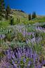 Lupine Field, Meiss Meadow