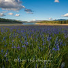 Sagehen Meadow Sea of Blue 2