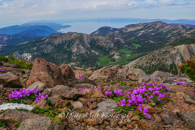 Mt. Rose Summit Wildflowers 2