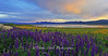 Sunset Forest Lake Lupines