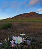 Evening Primrose Winnemucca