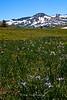 Iris in Meass Meadow