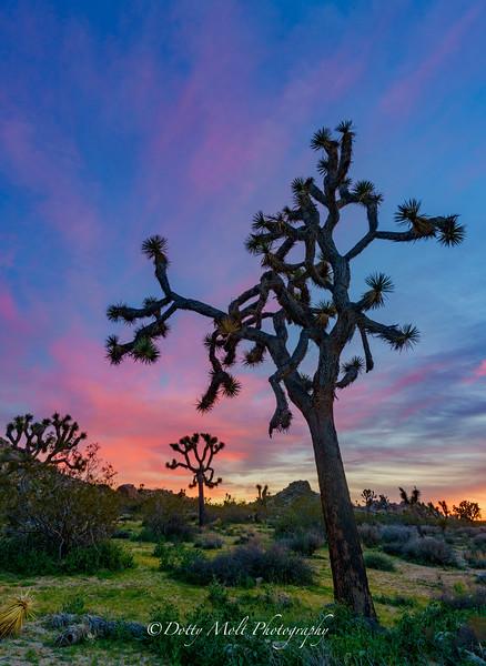 Suess Sunset  Joshua Tree National Park