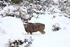 Snowy Buck, Reno, NV