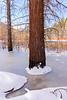Frozen Pine 1