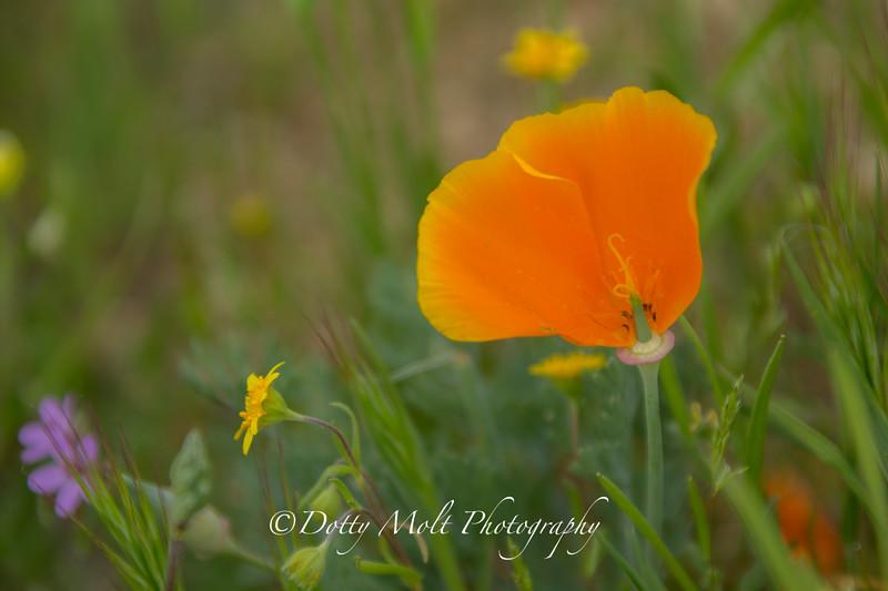 Half a Poppy Antelope Valley Poppy Preserve