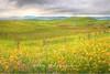 Mustard Field Sonoma, California