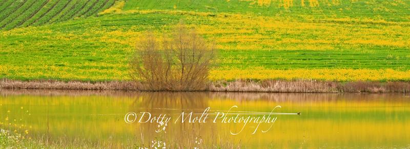 Mustard Duck Pond Sonoma, California