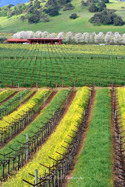 Mustard Rows and Pear Trees Sonoma California