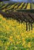 Mustard Rows Sonoma, California