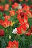 Tulips, Sonoma, CA