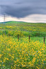 Mustard Field and power lines  Sonoma, CA
