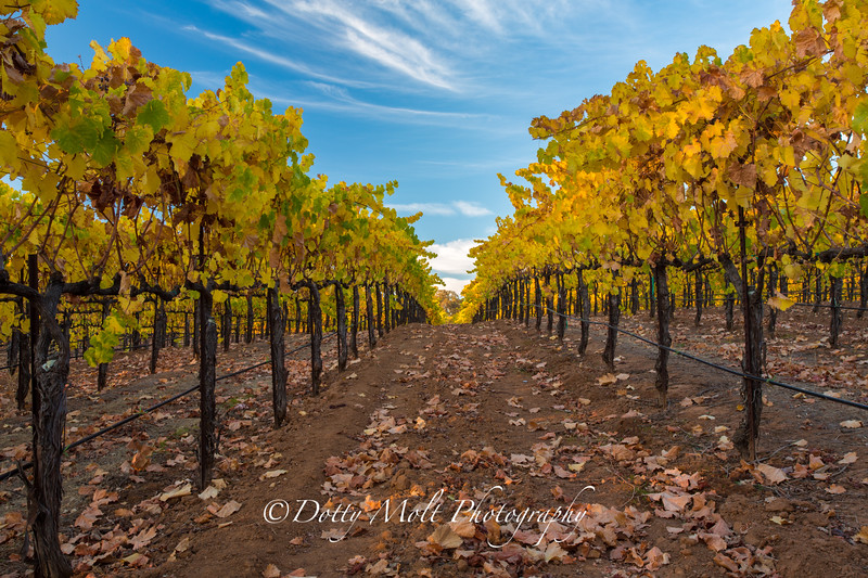 Bray Vineyards Autumn Yellow Amador County, California