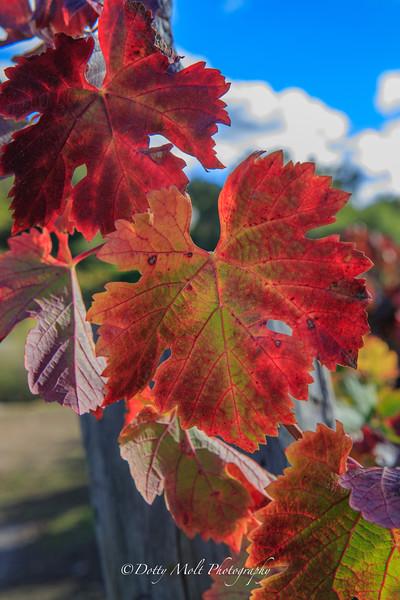 Zinfindel Opolo Vineyards