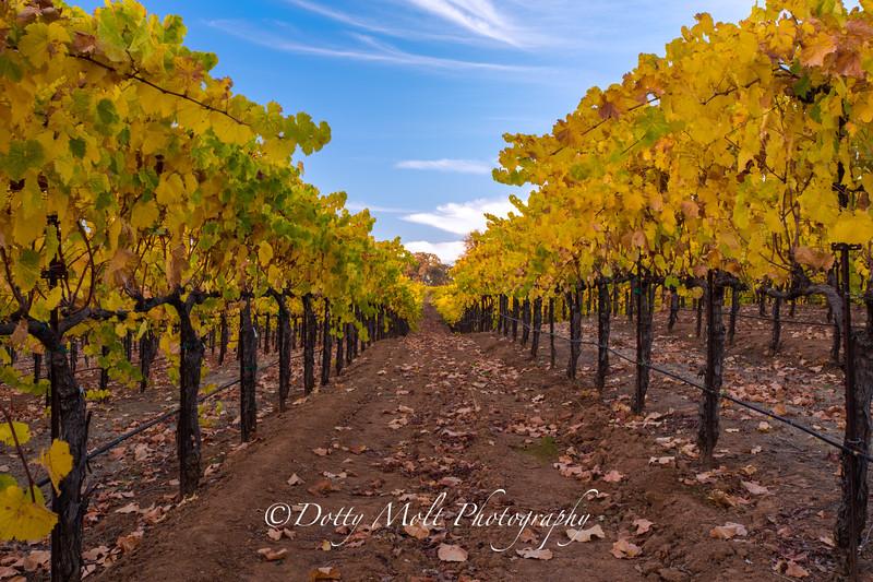 Bray Vineyards Amador County  Follow the Yellow Rows