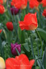 Tulip Portrait, Sonoma, CA