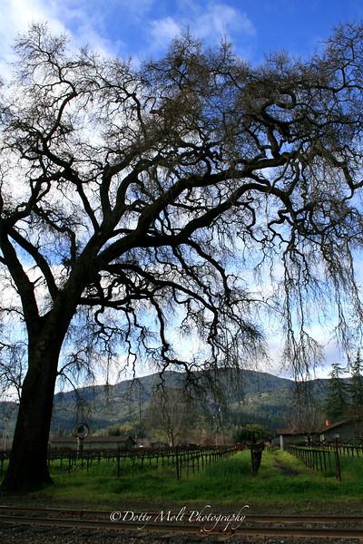 Ancient Oak, Napa, California