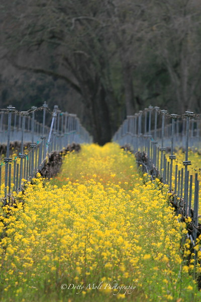 Hall of the Mustard King 2  Sonoma, CA