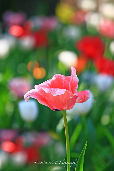 Jelly Bean Tulips  Sonoma, California