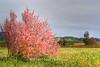 Cherry Tree Sonoma, CA