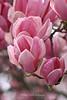 Tulip Tree Sonoma, California
