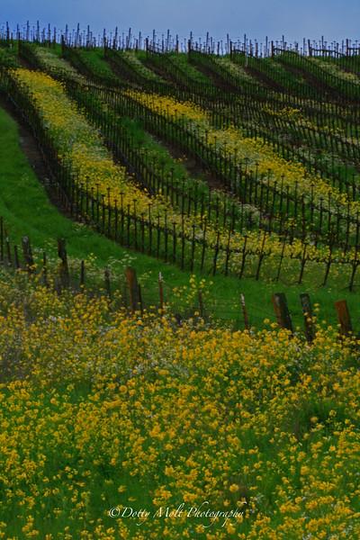 Mustard Rows Sonoma, CA