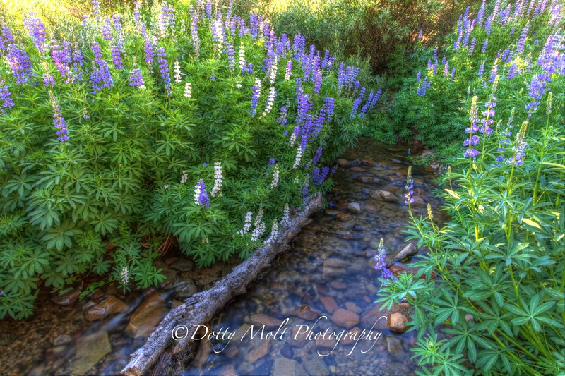 Lupine Stream Mt. Rose