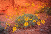 Dancing daisies, Valley of Fire, Nevada