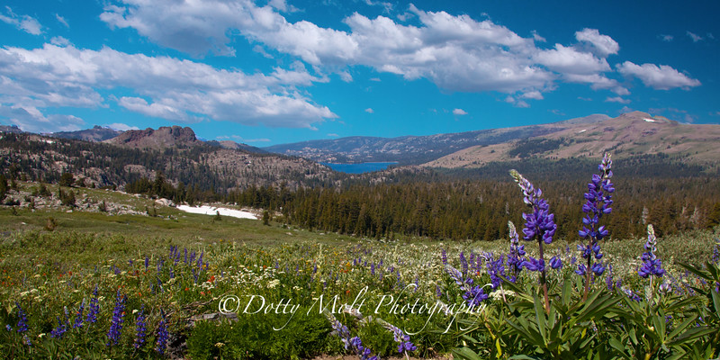 Lupines and Caples Lake at Carsons Pass