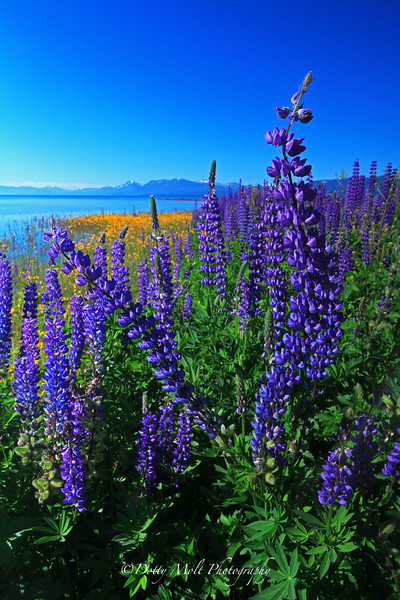 Leaning Lupines