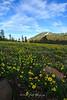 Tahoe Meadows Alpine Buttercups
