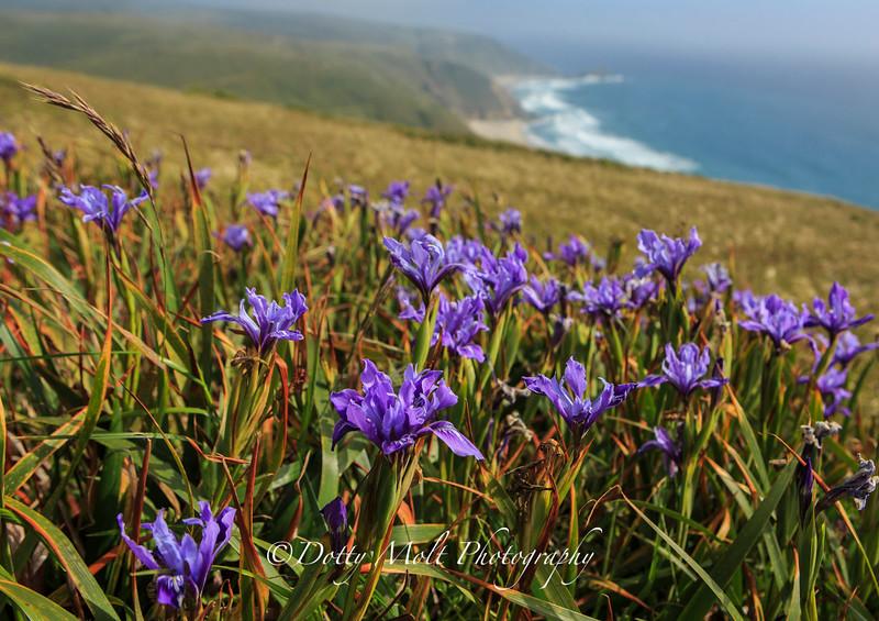Iris Overlook Point Reyes National Seashore