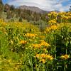 Arrowleaf, Mt. Rose Meadow