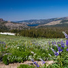 Lupines along Carsons Pass Trail