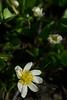 Marsh Lily