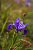 Iris Bloom Point Reyes National Seashore