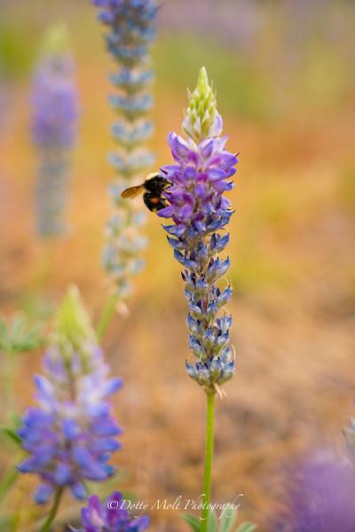 Bee in Bush Lupine SL