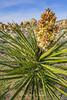 Yucca Bloom Joshua Tree NP