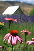 Coneflowers and Lavender