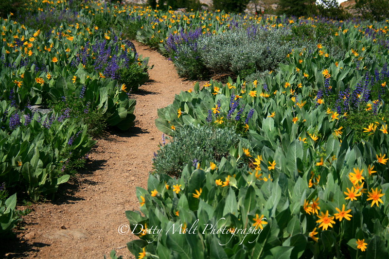 Path through Lupines and Mules Ears to Round Top and Lake Winnemucca