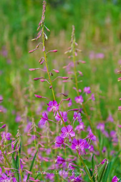 Fairy Fireweed