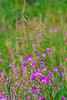 Fairy Fireweed